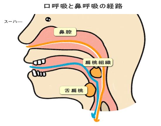 口呼吸と鼻呼吸の経路
