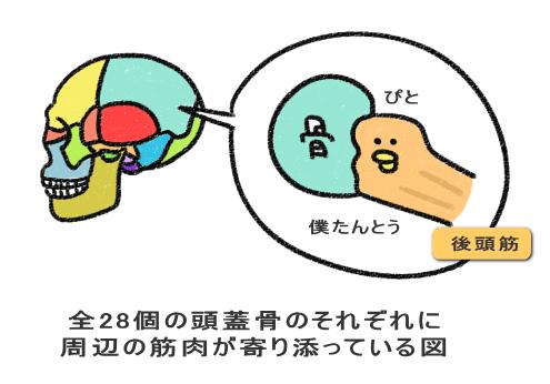 頭蓋骨が28個のパーツで構成されている図+筋肉で動く図