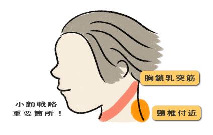 頸椎回りと胸鎖乳突筋の場所の説明