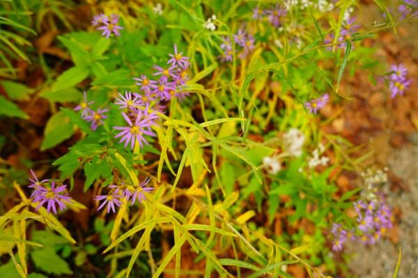 立山黒部アルペンルート|黒部平高山植物観察園