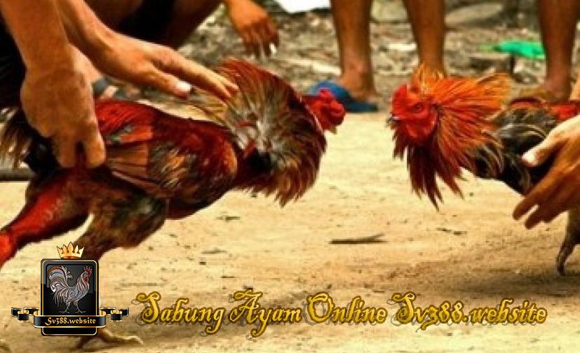 Agen sabung ayam online terpercaya