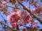 2009年 八重桜