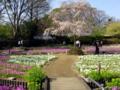 2009年 桜草まつり