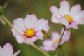 京都新聞写真コンテスト 『亀岡コスモス畑とミツバチ』