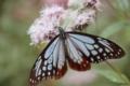 京都新聞写真コンテスト「藤袴とアサギマダラ蝶を見られたり」