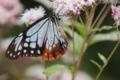 京都新聞写真コンテスト 『藤袴とアサギマダラ蝶を見られたり』