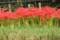 赤い曼珠沙崋