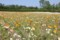ファーム富田のポピー畑