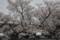 西武ドーム付近の桜