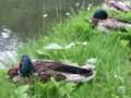 大野池の鴨