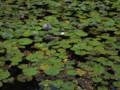 大野池の蓮