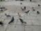 大通公園の鳩