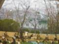 球場周辺の桜