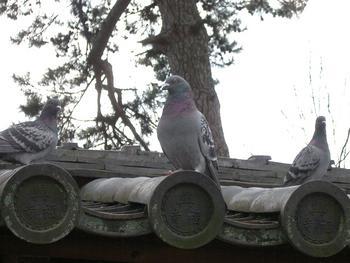 奈良・奈良公園にて ハトもいっぱい
