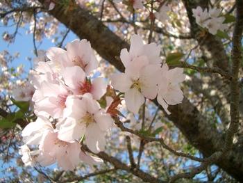 伊豆 咲き残る桜