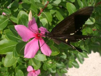 沖縄・竹富島にて 暑さに慣れた?蝶々