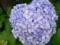 松前の紫陽花