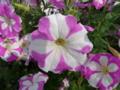 山形旅行で見かけた花2
