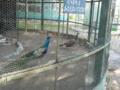 上田城公園・孔雀たち
