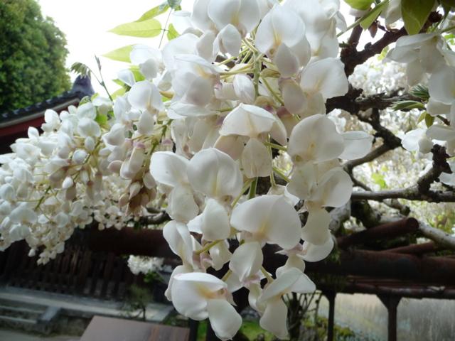 唐招提寺・境内の花