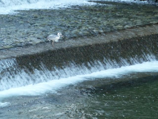 宮川で漁中のサギ