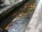 瀬戸川の鯉
