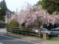 高野山・まだ咲いている桜