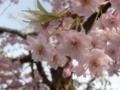 高野山・桜のアップ