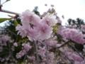 高野山・金剛峯寺前の桜