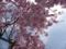 高野山・清浄心院の桜2