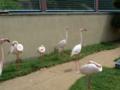和歌山城動物園・フラミンゴ達1