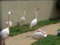 和歌山城動物園・フラミンゴ達2
