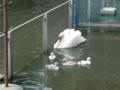 和歌山城動物園・白鳥親子