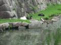 堀で休む白鳥達