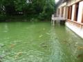 養浩館庭園の鯉達