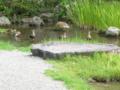 養浩館庭園の鴨たち