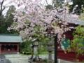 塩釜神社の境内に咲く桜