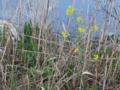 枯れた草と元気に咲く菜の花
