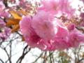 日和山で咲く桜