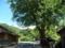 高殿の側のカツラの木