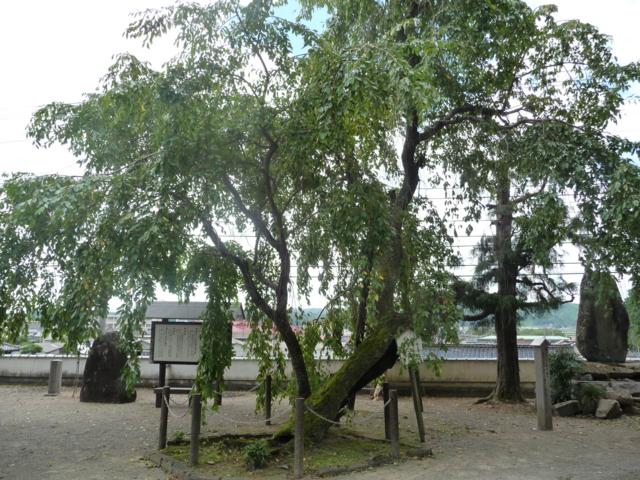 鳳源寺の桜