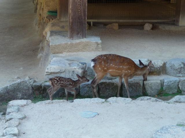 千畳閣の境内を歩く鹿親子