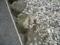 ごっつい砂利石