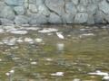 五十鈴川のサギ