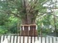 熊野速玉大社のナギの木