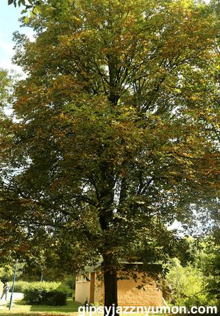 ドイツの栗の木