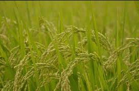 ドイツ お米