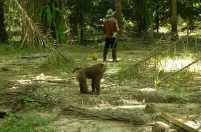 サルを使ってココナッツを収穫する様子
