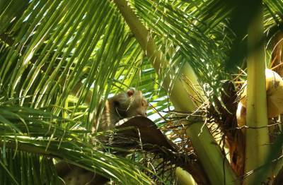 サルが木登りをしてココナッツを取る様子