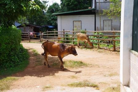 村にいる牛
